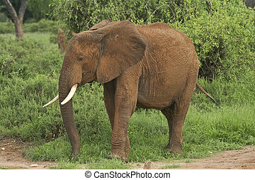 kenyan elephant - a lone kenyan elephant covered in red...
