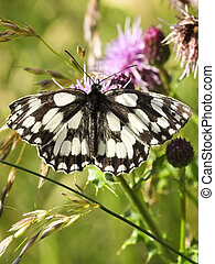 marbled white butterfly on thistle