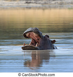 Hippo head above water Africa - Close up hippo looking with...