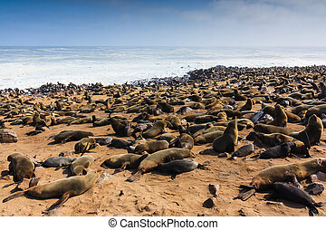 Cape fur seal gathering beach Cape Cross - Cape fur seal...