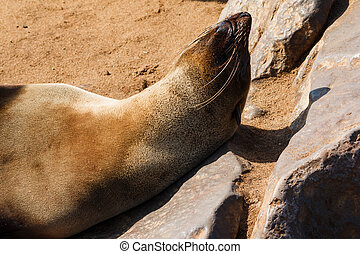 Cape fur seal warming up and tanning in the sun with head on...