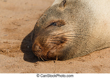 Cape fur seal sleeping close up. Cape cross Namibia Africa.