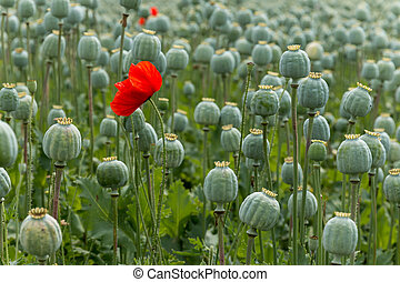 Papaver field single poppy flower - Papaver field single red...