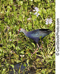 purple swamphen - a puple swamphen porphyria porphyria in...