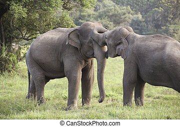 elephant courtship - two elephants courting in wasgomuwa...