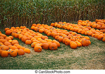 Heap of farm pumpkins on corn fiels - Fresh harvest, heap of...