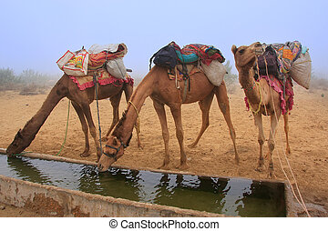Camels drinking from reservoir in a morning fog during camel...