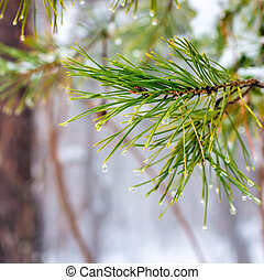 natural Christmas fir branch with drops in winter forest,...