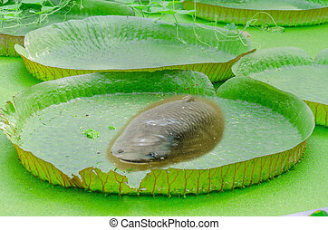 Victoria, Amazonas, water lily, leaves, fish