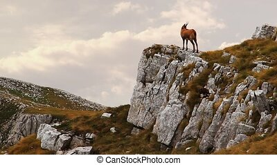 Chamois on the top of a rock in a windy and cloudy day