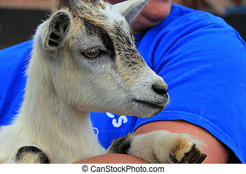 Adorable billy goat - Adorable Billy goat with inquisitive...