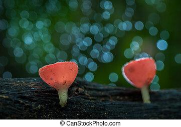 fungi cup red mushroom or champagne mushrooms in natural