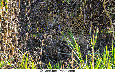 Wild Jaguar behind plants in riverbank, Pantanal, Brazil -...