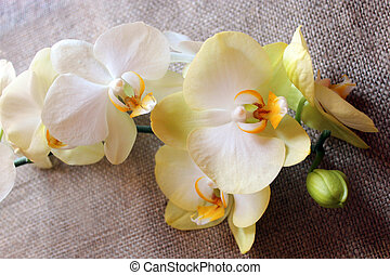branch of a blossoming yellow orchid on sacking - branch of...