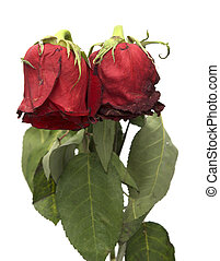 two withered roses on a white background