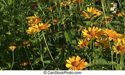 yellow garden flower - yellow small garden flower in summer...