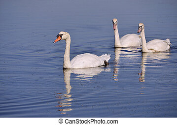 Mute swans swimming - Three wild Mute swans (Cygnus olor)...