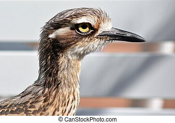 Bush Stone-curlew closeup in Gold Coast Queensland...
