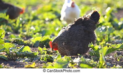 Chickens eat worms on a vegetable garden