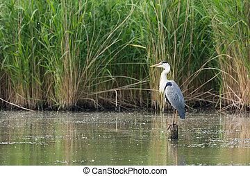 Great blue heron in water
