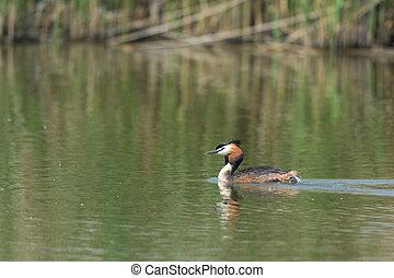 Great crested grebe swimming in water