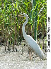Great Egret - Great egret in water between reed