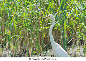 Great Egret - Great egret between the reed