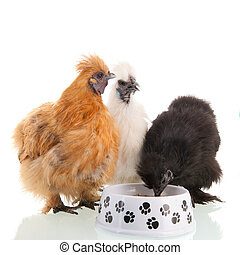 Silkie chicken eating - Silkie chicken brown, black and...