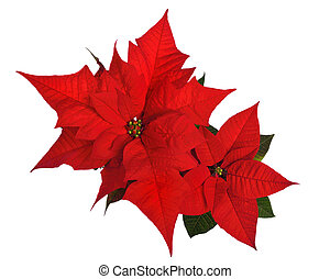 Poinsettia isolated on white - Vibrant red poinsettia...