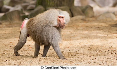 male hamadryas baboon - Male hamadryas baboon is walking on...