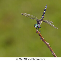 Windy day - Dragonfly that has its tail up due to a breeze