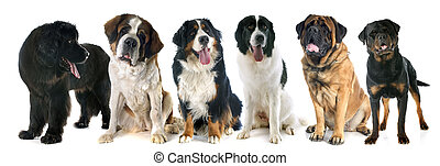 giant dogs in front of white background