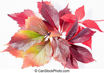 autumn colorful leveas of parthenocissus on white background