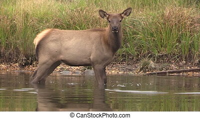 Cow Elk in Lake - a cow elk cools off in a mountain lake