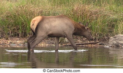 Cow Elk Drinking - a cow elk drinking in a mountain lake