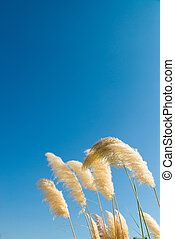 Pampas grass feathers bent by a breeze against a blue sky
