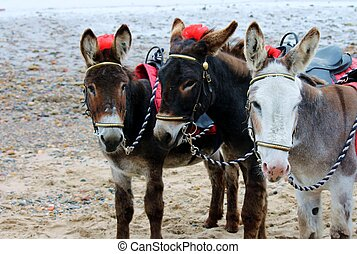 Donkey rides at seaside beach scarborough uk - Donkey rides...