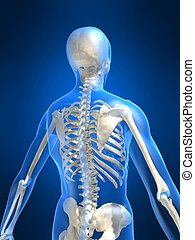 skeletal back - 3d rendered illustration of a human skeletal...