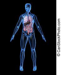 human organs - 3d rendered illustration of a transparent...