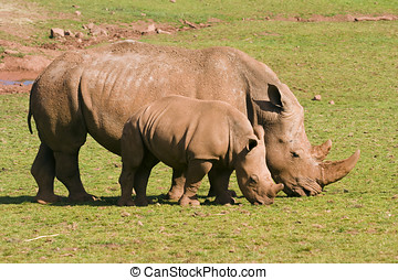 White Rhinoceros - Closeup of White Rhinoceros...