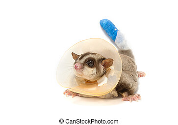 sugar glider sick wearing aprotective collar