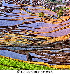 Fujian, Połączenie, Tarasowaty