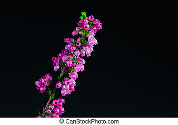 Heather flower detail at black background - Detail of a...