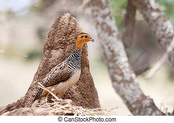 African bird: Coqui Francolin (Peliperdix coqui) with a...