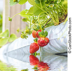 Strawberry at hydroponic farm