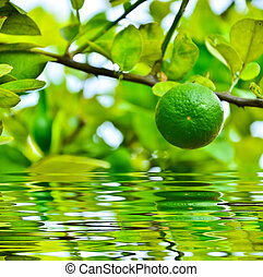 Green lime on a branch