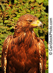 Eagle (Aquila chrysaetos) - Sitting proud eagle (Aquila...