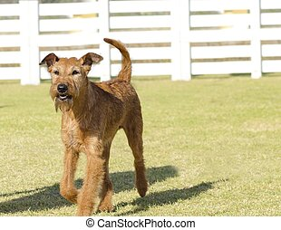 Irish Terrier - A profile view of a young, beautiful, red,...