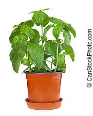 Basil plant in pot