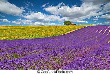 Valensole. - Lavender and sunflower field in Valensole....